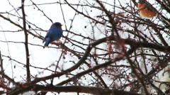 Bluebird Flying in Slow Motion  Stock Footage