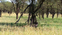 Southern Ground hornhill pair in the savanna of Serengeti Stock Footage