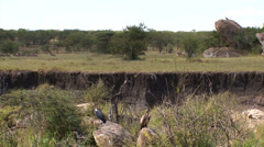 Vultures,wildebeests and savannah landscape Stock Footage