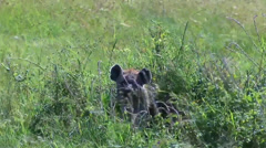 Closeup spotted hyena pup hiding in tall grasses Stock Footage