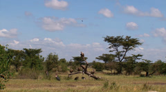 Wide view African vultures on a dead branch Stock Footage