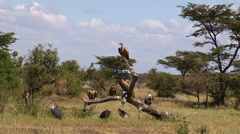 Vultures and other birds of prey on a dried limb Stock Footage