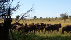 Start of Great Wildebeest migration Stock Footage