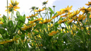 Stock Video Footage of Rudbeckia flowers swaying in a gentle breeze