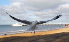 seagull with spread wings - stock photo