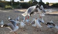 Stock Photo of seagull fight