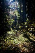 autumn forest in the morning - stock photo