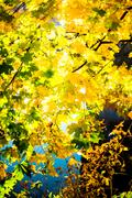Beautiful autumn background with maple leaves Stock Photos