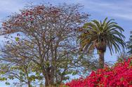 Stock Photo of red coral tree palms tree bougainvillea santa barbara california