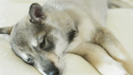 Stock Video Footage of husky puppy lying
