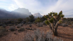 Distinctive Joshua Tree in the Mojave Desert Stock Footage