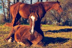 two beautiful brown horses outdoors - stock photo