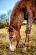 brown horse feeding outdoors - stock photo