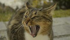 Tabby cat yawn and look up Stock Footage