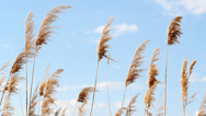 Stock Video Footage of reed and blue sky nature background