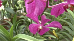 Blooming orchid flower in Singapore Botanic Garden Stock Footage