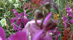 Close up view of violet color Vanda Limbata orchid (ORCHID--3a) Stock Footage