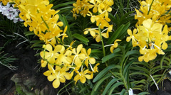 Pots of Mokara Bangkok Gold orchid flower blooming outdoor. (ORCHID--1B) Stock Footage