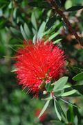 Uusi-Seelanti joulukuusi Punainen kukka kasvit Kuvituskuvat