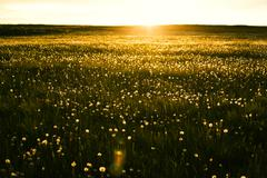 Sun rising over field of flowers Stock Photos
