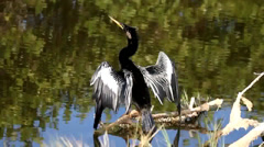 Anhinga on a perch near water in the Florida Everglades Stock Footage