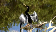 Stock Video Footage of Anhinga on a perch near water in the Florida Everglades
