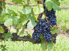 vineyard grapes - stock photo