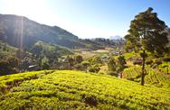 Stock Photo of tea plantation
