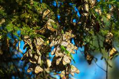$monarch butterfly colony in mexico - stock photo