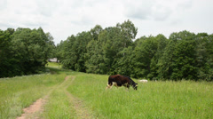 Bull graze in pasture near rural road and wooden house Stock Footage