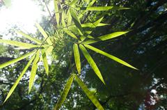 bamboo leaves with sun - stock photo