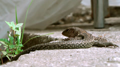 British Virgin Islands Tortola Road Town 041 lizard is lying and looking Stock Footage