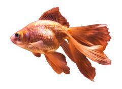 Beautiful goldfish - isolated on white Stock Photos