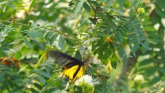 Golden Birdwing butterfly Stock Footage
