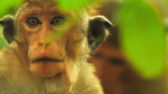 Close-up of macaque Stock Footage
