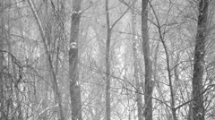 Heavy snowfall in the wood.  Forest trees covered with new falling snow Stock Footage