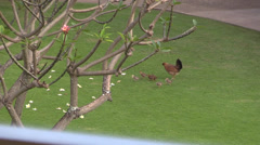Hen and chicks in Hawaii Stock Footage