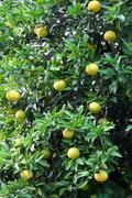 grapefruit tree - stock photo