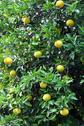 Stock Photo of grapefruit tree