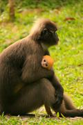 Spectacled langur sitting with a baby, ang thong national marine park, thaila Stock Photos
