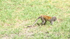 Saimiri or squirrel monkey searching for food on the ground, camera pans LR to Stock Footage
