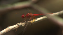Red Dragonfly Flies Up And Sits Down Stock Footage