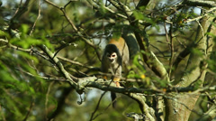 Wild monkey crawling on tree canopy, shot from below, camera pan, tilts while Stock Footage