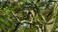Stock Video Footage of Amazon wild monkey HD