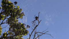 Large spider ,web Stock Footage