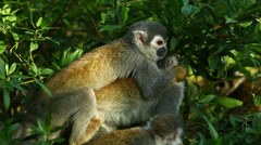 Squirrel monkey family in Ecuadorian jungle while grooming shot in the wild Stock Footage