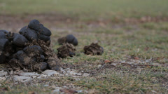 A pile of fresh horse manure on green grass. Stock Footage