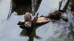 Small-clawed otter in the water Stock Footage