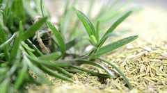 Rosemary background video (loopable) Stock Footage
