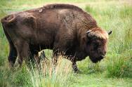 Stock Photo of European bison